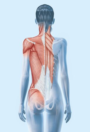 illustration showing superficial and deep muscles and skeleton of a woman, 3D illustration