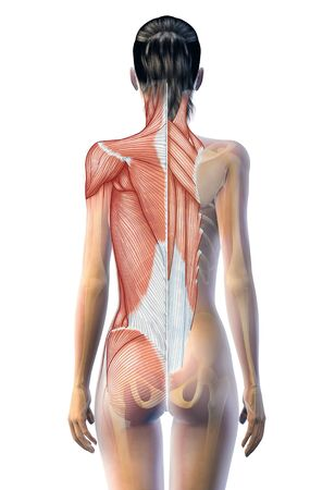 3D illustration showing superficial and deep muscles and skeleton of a woman