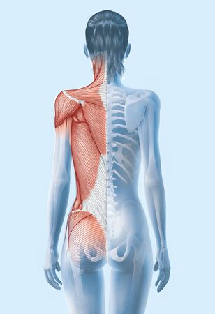 3D illustration showing superficial muscles and skeleton of a woman,