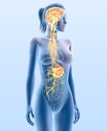 3D illustration showing vagus nerve and highlighted stomach, medically 3D illustration