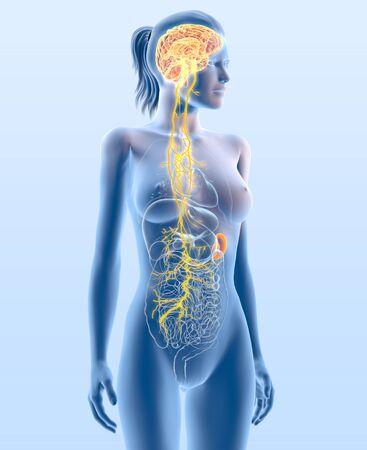 3D illustration showing vagus nerve and highlighted spleen, medically 3D illustration Foto de archivo