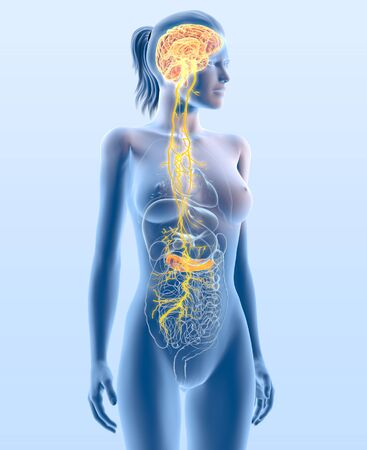3D illustration showing vagus nerve and highlighted pancreas, medically 3D illustration