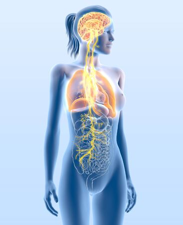 3D illustration showing vagus nerve and highlighted lungs, medically 3D illustration