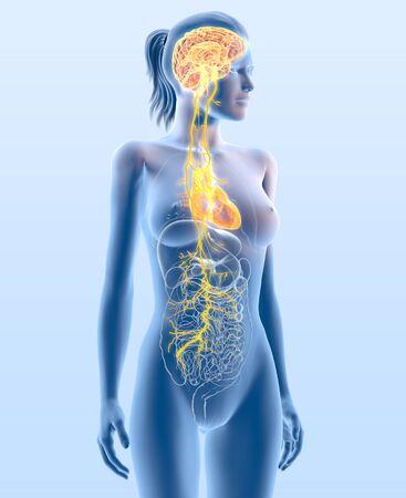 3D illustration showing vagus nerve and highlighted heart, medically 3D illustration 版權商用圖片