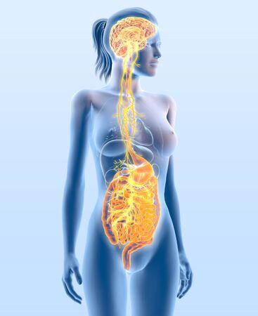 3D illustration showing vagus nerve and highlighted digestine system, medically 3D illustration