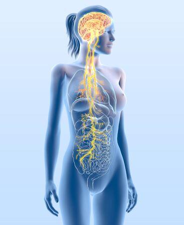 3D illustration showing vagus nerve and highlighted broncia, medically 3D illustration 版權商用圖片