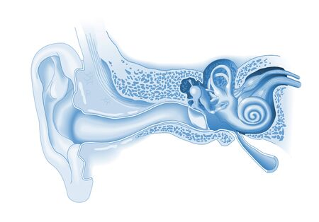 Human ear anatomy, medical illustration, blue