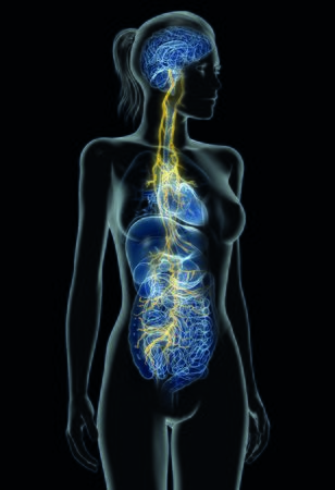 Illustration showing vagus nerve and inner organs of a woman