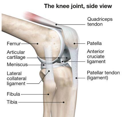 3D illustration showing human knee joint with femur, articular cartilage, meniscus, medial collateral ligament, articular cartilage, patella, kneecap, fibula, tibia, quadriceps tendon, patellar tendon