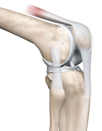 3D illustration showing knee joint with femur, fibula and articular capsule, menisci and ligaments