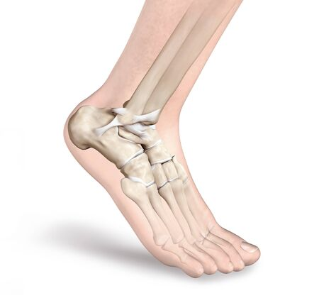 3D illustration showing ligaments in ankle joint 版權商用圖片