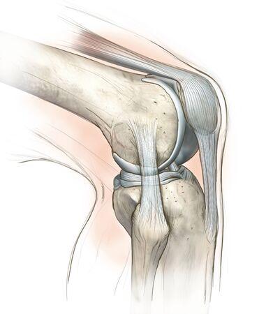 Hand drawing illustration showing human knee joint with femur, articular cartilage, meniscus, medial collateral ligament, articular cartilage, patella, kneeecap, fibula, tibia, quadriceps tendon, patellar tendon 版權商用圖片