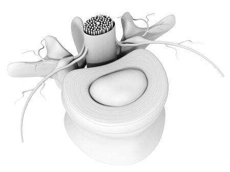 3D illustration showing lumbar vertebra with intervertebral disk, medically 3D illustration on white background