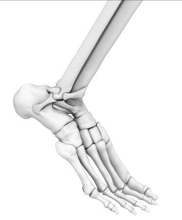 3D illustration showing ankle joint, medical mock up on white background