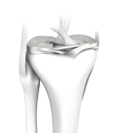 3D illustration showing knee joint with transparent femur and articular capsule, menisci and ligaments on white background, medical mock up on white background