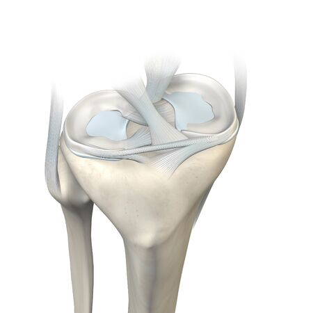 3D illustration showing knee joint with transparent femur and articular capsule, menisci and ligaments