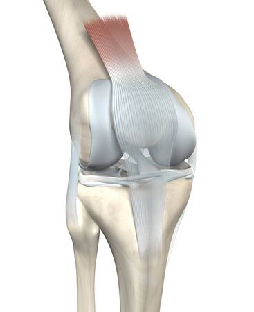 3D illustration showing anatomy of a knee joint with femur, fibula and articular capsule, menisci and ligaments