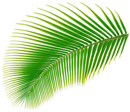 feuille arbre: Palm feuille d'arbre, illustration vectorielle, isolé sur blanc