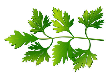 Sprig of parsley. Vector illustration. All objects are on different layers. Isolated on white