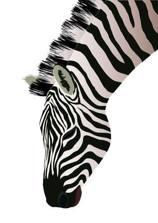 Zebra illustration. Isolated on white Illustration