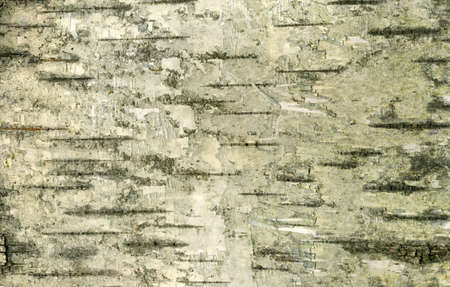 High resolution old birch bark texture photo
