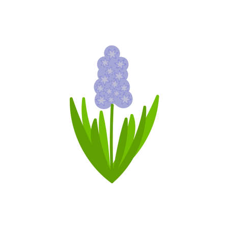 Vector Hyacinth flower in blue, green leaves isolated on a white background. Hand drawn bulbous plant in flat style. Spring flower