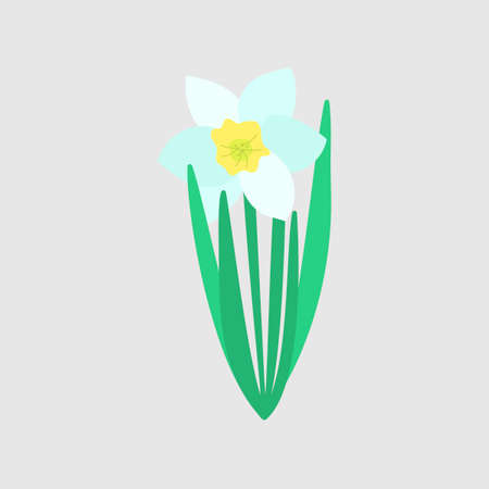White Narcissus flower with green leaves. Spring flowers. Hand drawn botanical vector illustration. Daffodil flower isolated.