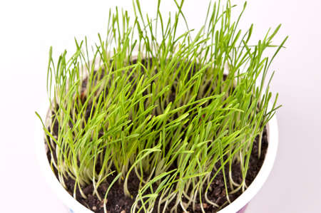 close up of fresh green spring wheat in a pot photo