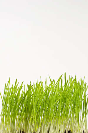 fresh green spring wheat  isolated on white background Stock Photo