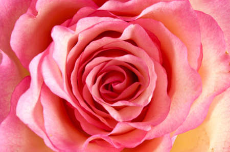 Close up of a pink rose as background