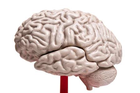 close up to human brain anatomy Stock Photo