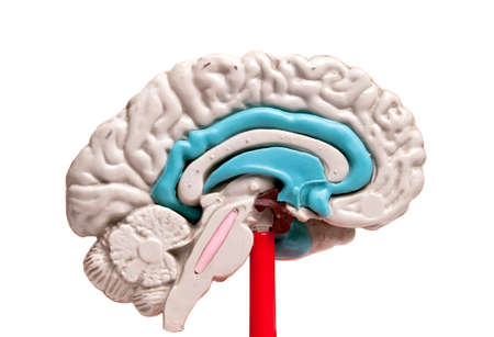 closeup of a human brain model on white background photo