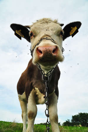 Closeup of cow with chain over her snout on the field photo