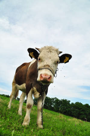 cow with chain over her snout in rural landscape photo