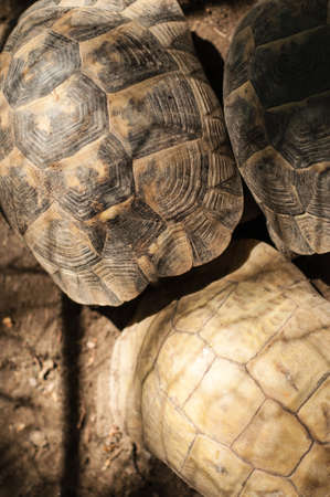 cold blooded: Yellow-footed tortoise, Chelonoidis denticulata, captive Stock Photo