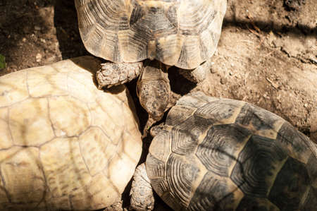 Yellow-footed tortoise, captive