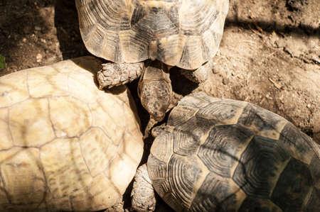 captive: Yellow-footed tortoise, captive