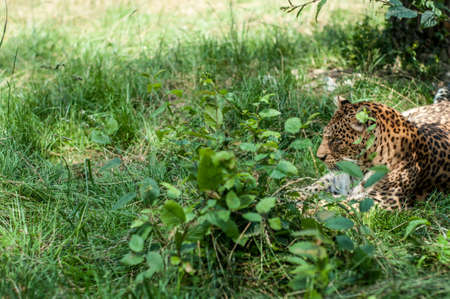 catlike: leopard resting on the grass