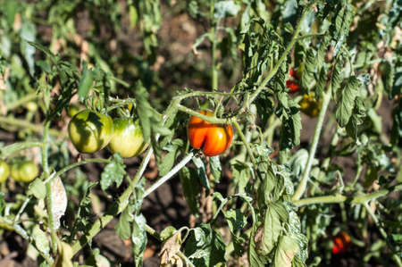 red and green tomatoes in the garden, soon all will ripen Stock Photo
