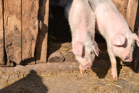 slobber: two young piglet in traditional farm come together out of the barn to enjoy the sun Stock Photo