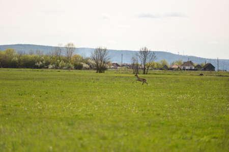 fawn: fawn Deer leaping in field