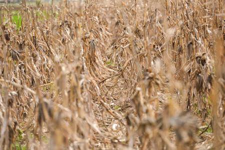 planta de maiz: Los campos de maíz marchitado, enfoque selectivo