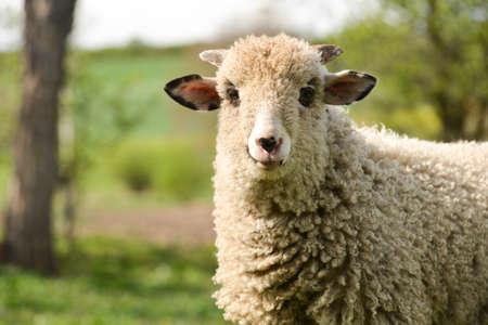 maldestro: agnello Clumsy in piedi sul prato e guardando la fotocamera Archivio Fotografico