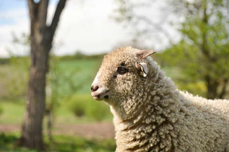 clumsy: Portrait of a clumsy lamb standing on grass Archivio Fotografico