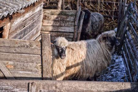 agri: Sheeps eating hay inside a sheep farm at an agricultural farm Stock Photo