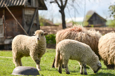 Flock of sheeps at the farm eating fresh grass in the spring Stock Photo