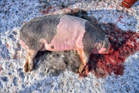 slaughtering: portrait of a pig slaughter in a tradition way in the rural areas. Winter time