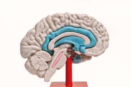 hypothalamus: closeup of a human brain model on white background Stock Photo