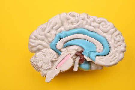 cerebra: 3D human brain model details from inside on yellow background