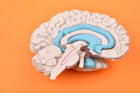 cerebra: 3D human brain model from external on orange background